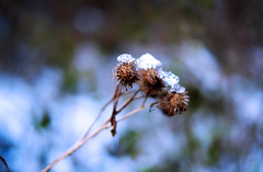Breath of winter in October (temacatz) Tags: autumn winter snow ice nature flora fuji bokeh fujifilm xm1