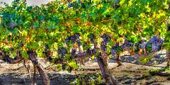 Vineyard (JuneBugGemplr) Tags: vineyard grapes