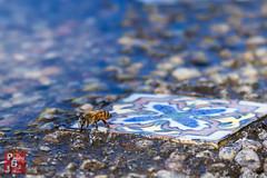 Bee Bath? (*PhotoByJohn*) Tags: california macro nature garden insect losangeles bee 5d honeybee southcoastbotanicgarden ranchopalosverdes insectmacro beemacro photobyjohn canon5dmkii 5dmkii