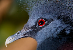 Crowned Pigeon Closeup (Mark Dumont) Tags: bird birds animals zoo mark pigeon cincinnati victoria dumont crowned