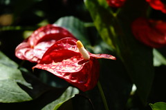 (ddsnet) Tags: plant flower sony hsinchu taiwan 99 anthurium    slt     sinpu hsinpu      singlelenstranslucent 99v