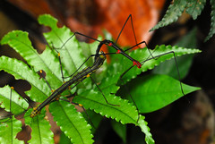 Stick Insects mating (Prairie_Wolf) Tags: male southamerica female trekking trek ecuador amazon rainforest mating stickinsects travelphotography oreophoetestopoense rachelmackayphotography