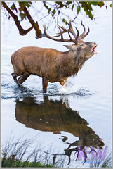 IMG_0813.jpg (kishwphotos) Tags: nature stag wildlife deer mammals reddeer richmondpark deerrut