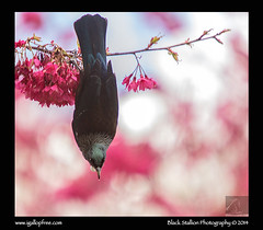 Tui 16 (Black Stallion Photography) Tags: pink flowers newzealand black green bird photography spring branch wildlife tail down hang parson upside stallion tui nzbirds igallopfree