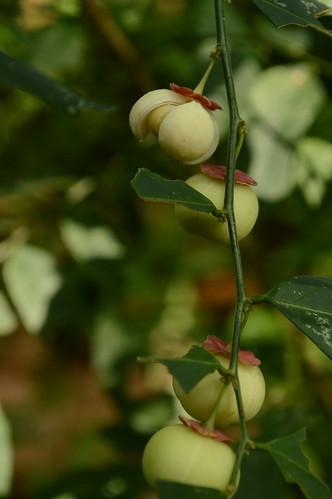 Sauropus androgynus (L.) Merr. Euphorbiaceae: sweet leaf, ผักหวานบ้าน