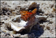Resting on an oyster shell. (CallieAndToby) Tags: orange beach butterfly sand gulf shell oyster fritillary