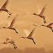Royal Spoonbills