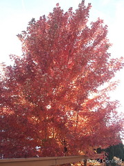 October 17, 2014 - A maple in red in the fall.  (David Canfield)