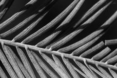 Centipede Cypress (kennethmcallahan) Tags: trees sky blackandwhite plants macro nature mississippi leaf cypress veins blackandwhitephotography macrophotography baldcypress treeporn skylit fernlike kennethcallahan