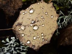 P9196017 (at8eqeq3) Tags: autumn leaf drop dew lichen