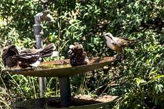 _MG_5550 (rojam1000) Tags: bird birds finches bluefacedhoneyeater rainbowlorikeet magpies rosellas redrumpedgrassparrots