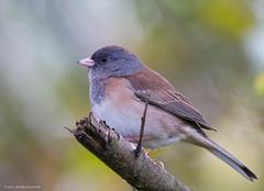 Dark-eyed Junco (Peter Bangayan) Tags: nature birds canon wildlife junco 7d eos7d tamronsp150600mmf563divcusd