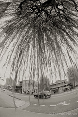 under a weeping willow (Takeshi Nishio) Tags: uv ilfordfp4plus nikonfm3a    16mmfisheye  ei125 spd1120deg7min filmno798