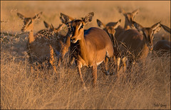 Impala herd_DSC6132 (Mel Gray) Tags: africa nature wildlife earlymorning impala namibia etosha wildanimals africanwildlife rietfontein