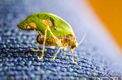 Insetos (insects) (Venicius Follmann de Oliveira) Tags: wild macro nature colors cores insect nikon natureza ngc inseto rs riograndedosul sul missões sigma70300mm matoqueimado caibaté nikond7000 veniciusfollmanndeoliveira rondinhanews