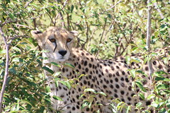 IMG_1999 (gsurya) Tags: kenya cheetah masaimara