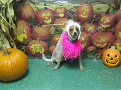 Belle (happy_hounds) Tags: dogdaycare dog daycare puppy pups boarding cagefree dogsofflickr purebred rescuedog happyhounds plymouthmichigan happyhoundsdogdaycare