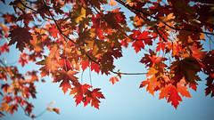 Don't forget to look up! (Playing_with_light) Tags: blue autumn red sky canada tree up look leaves maple nikon montreal branches d800