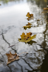 Autumn (Darius Bauys) Tags: autumn nature water leaves river maple autumnal d7000