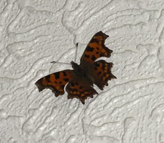 comma butterly on my kitchen relief wallpaper, 2014-09-28, 12-14-59 (tributory) Tags: autumn red white black london home nature kitchen butterfly insect leaf wings seasons native wildlife lepidoptera domestic bark disguise twig species resting hackney comma e9 rustred