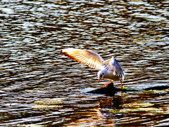 fishing (Darek Drapala) Tags: bird nature water birds fishing action seagull panasonic panasonicg5