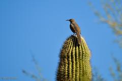 Curve-billed Thrasher (Stones 55) Tags: arizona cactus bird phoenix nikon desert aves cactaceae spines prickly arid sonorandesert thrasher desertbotanicalgarden gigantea nikond3200 curvebilledthrasher passeriformes toxostomacurvirostre dbg marico