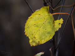 the lone leaf (contemplative imaging) Tags: park leica autumn usa macro green art fall leave nature leaves modern digital rural america pen lens photography countryside photo leaf illinois cool october midwest day natural image artistic cloudy photos bokeh contemporary district country fine photojournalism conservation overcast olympus images il ill american area imaging recreation prairie monday preserve f28 45mm journalism 43 2014 midwestern mchenrycounty fourthirds mccd ep5 marengoridge contemplativeimaging ronzack 20141020 lme45 cimrra20141020ep5 cimrra20141020ep544