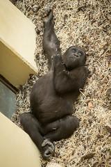 2014-11-13-10h54m39.BL7R5729 (A.J. Haverkamp) Tags: zoo gorilla arnhem thenetherlands burgerszoo dierentuin westernlowlandgorilla westelijkelaaglandgorilla canonef70200mmf28lisusmlens httpwwwburgerszoonl dob04112009 nakou
