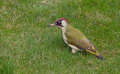 IMG_0293 Green woodpecker (steve.ray50) Tags: 2014 kingsdown