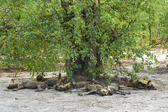 Wild Dog Tree (David Schenfeld) Tags: tree dogs nature northwest shade botswana wilddogs painteddogs aftica africanwilddogs selindapack