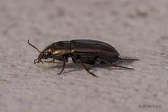 Erzfarbige Kamellufer oder Erz-Kanalkfer (Amara aenea) (AchimOWL) Tags: macro animal insect tiere makro insekt tier kfer gm1