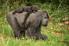 2014-09-18-11h01m29.BL7R7439 (A.J. Haverkamp) Tags: denmark zoo gorilla minnie amiri denemarken dierentuin givskud westelijkelaaglandgorilla canonef100400mmf4556lisusmlens poblesmathesfrance pobgivskuddenmark httpwwwgivskudzoodk dob07101992 dob16022013