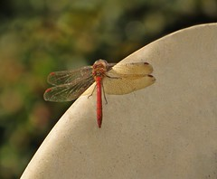 Dragonfly & the Bokeh (Dazzygidds) Tags: sculpture texture nature stone wings nationaltrust poised ruddydarter coughtoncourt dragonfy wingsoutstretched
