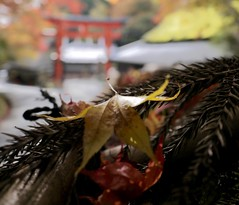 Tori and Momiji, Arashiyama, Kyoto. ( monkeys with cameras (AKA Marx)) Tags: autumn color colour fall japan lumix prime kyoto gate dof wideangle depthoffield panasonic momiji arashiyama mapleleaf shallow tori narrow 14mm mft pancakelens kyotofu gf3 wideangleadaptor microfourthirds