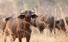 Are You Looking For Trouble ? (AnyMotion) Tags: africa travel nature animal animals tiere reisen wildlife ngc natur afrika zambia 6d 2014 synceruscaffer africanbuffalo sambia anymotion afrikanischerbüffel canoneos6d northluangwa