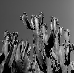 Cactus cereus (jescandell) Tags: cactus rollei self fuji kodak hc110 hasselblad 100 across f28 119 develop cereus 500cm carlzeiss 1151 photoflo kodakhc110 fujineopanacros100 stant ilfostop plannar80mm film:brand=fuji film:iso=100 jescandell developer:brand=kodak developer:name=kodakhc110 film:name=fujineopanacros100 filmdev:recipe=9708