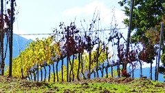 Tempo di Vendemmia (supervito) Tags: palermo autunno sicilia vino vendemmia pianadeglialbanesi viti vigneti pianetto vitodimodica