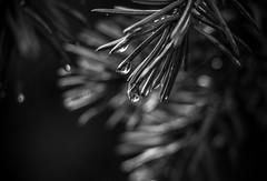 La boule de cristal (pierre_reveille) Tags: blackandwhite black nature water noir noiretblanc pluie sapin gouttedeau