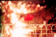 . (sullen_snowflakes) Tags: flower film nature rose analog rosa natura fiore praktica analogico prakticamtl5