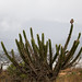 burrowing owl in the restinga