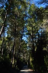 Pine Forest (GemmaPe) Tags: forest de pines bosque pinos gelida