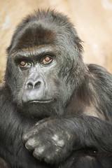 2014-09-25-10h43m16.BL7R1087 (A.J. Haverkamp) Tags: zoo belgium gorilla victoria antwerpen dierentuin canonef100400mmf4556lisusmlens httpwwwzooantwerpenbe oostelijkelaaglandgorilla dob09071968 pobantwerpenbelgium