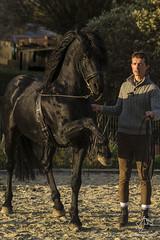 2014.11.02 - Ismal Nijst (NosChevaux.com) Tags: horses horse caballo cheval caballos chevaux paard paarden classique dressage quitation noschevaux noschevauxcom ismalnijst arabofrison