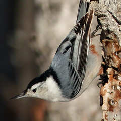 He's a little beauty (annkelliott) Tags: canada male calgary bird nature birds alberta nuthatch ornithology whitebreastednuthatch avian excellence fishcreekpark avianexcellence