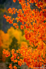 Fall Color Closeup (tom boggs) Tags: fall color colorado red orange yellow trees leaves nature