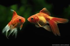 Goldfische (Erwin Lorenzen) Tags: aquarium aquaristik fisch fish tierfotografie tier tamron elo animals canon canoneos5dmarkii schleierschwanz goldfisch goldfish