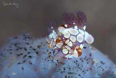 Nom nom nom..... (Randi Ang) Tags: trapania scurra trapaniascurra kuanji tulamben bali indonesia underwater scuba diving dive photography macro nudi nudibranch seaslug randi ang canon eos 6d