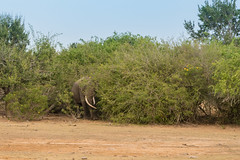 Großer Elefant im Yala Nationalpark Sri Lanka