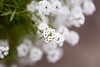 sweet Autumn (Dotsy McCurly) Tags: sweet smelling alyssum plant flower white fluffy nature beautiful canoneos5dmarkiii autumn dof bokeh nj fly bug