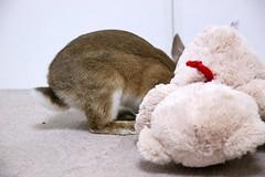 Ichigo san 416 (mensore) Tags: rabbit bunny netherlanddwarf brown cute pet family ichigo